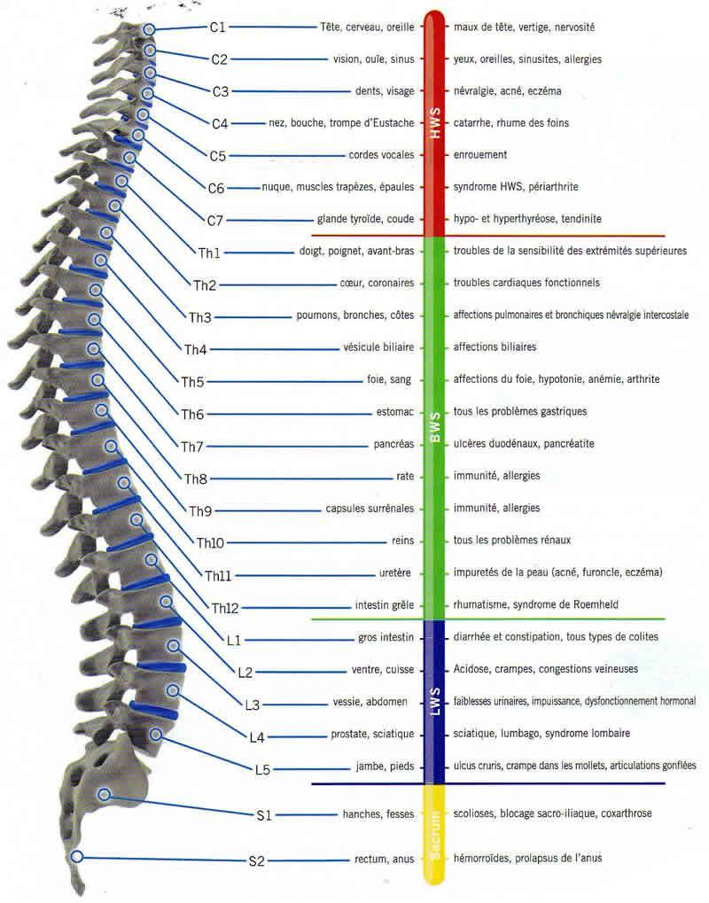 Schémat col vertébrale structurelle
